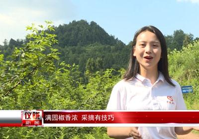 四川乡村专栏报道:记者体验,怎样采摘青花椒